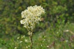 Fleur de Meadowsweet Photo libre de droits