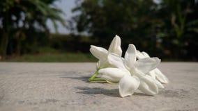 Fleur de Melati Photo libre de droits