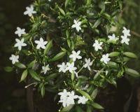 Fleur de Melati image libre de droits