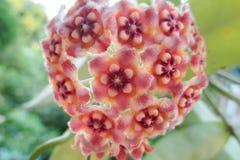 Fleur de meliflua de Hoya Photos stock