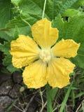 Fleur de melon d'hiver Photographie stock libre de droits