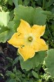 Fleur de melon d'hiver Photo libre de droits