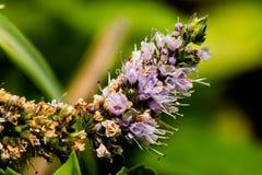 Fleur de Mentha Images stock