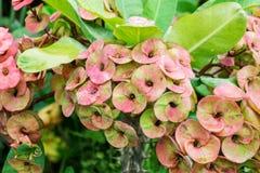 Fleur de Milii d'euphorbe Images stock