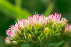 Fleur de millefolium d'Achillea Photographie stock libre de droits