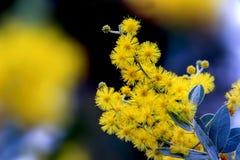 Fleur de mimosa Photographie stock