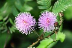 Fleur de Mimosoideae photos libres de droits