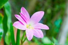 Fleur de minuta de Zephyranthes image stock