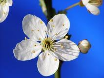 Fleur de mirabelle Image libre de droits