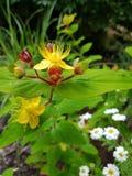Fleur de moût de St Johns images libres de droits