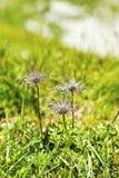 Fleur de montagne Photos stock