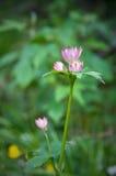 Fleur de montagne Image stock