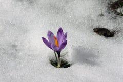 Fleur de montagne Photos libres de droits