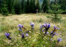 Fleur de montagne Image libre de droits
