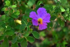 Fleur de montagne d'Olympe photographie stock