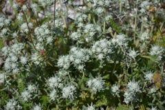 Fleur de montagne d'Olympe Photo libre de droits