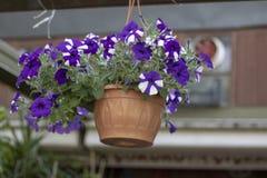 Fleur de Moonflower dans le pot de fleurs Il a été pris pendre d'en haut photo stock