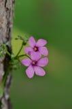 Fleur de mouchard de plan rapproché image libre de droits