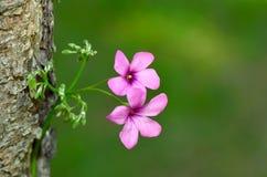 Fleur de mouchard de plan rapproché Images libres de droits