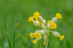 Fleur de moustique Image libre de droits