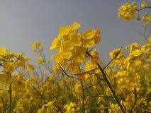 Fleur de moutarde Images stock