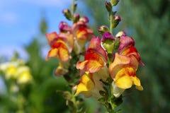 Fleur de muflier en été Photo stock