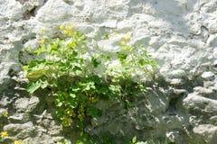 Fleur de mur - 32 Photo libre de droits