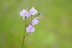 Fleur de Murdannia Giganteum Photographie stock libre de droits