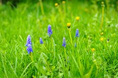 Fleur de Muscari sur le pré Photos stock