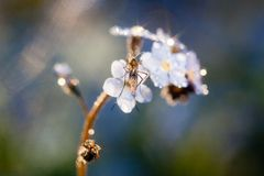 Fleur de myosotis des marais image stock