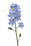Fleur de myosotis des marais photos stock