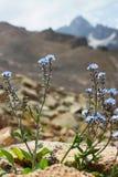 Fleur de myosotis sur un fond de hautes montagnes Images libres de droits