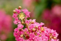 Fleur de myrte de crêpe photo stock