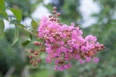 Fleur de myrte de crêpe image stock