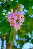 Fleur de myrte de crêpe photo libre de droits