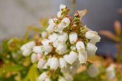 Fleur de myrtille Photographie stock