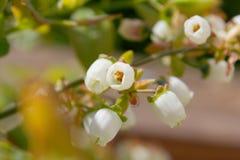 Fleur de myrtille Photos stock