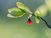 Fleur de myrtille Photographie stock libre de droits