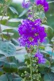 Fleur de Myrtle Catawba de crêpe images libres de droits