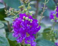 Fleur de Myrtle Catawba de crêpe photo stock