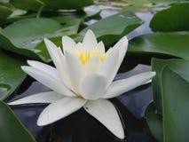 Fleur de nénuphar sur le plan rapproché de lac Image libre de droits