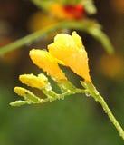 Fleur de Narcis Photo stock