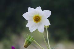 Fleur de narcisse Image libre de droits