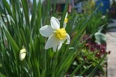 Fleur de narcisse dans le jardin Photos stock