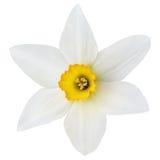 Fleur de narcisse sur le blanc Photos stock