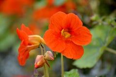 Fleur de nasturce Image libre de droits