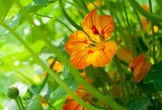 Fleur de nasturce et fond de feuilles Images stock