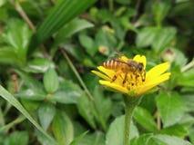 Fleur de ND d'abeille photographie stock libre de droits