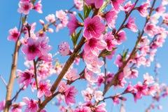 Fleur de nectarine Photos stock