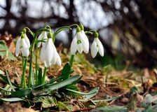 Fleur de neige Photo libre de droits